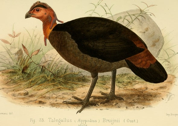 Thanksgiving Species Snapshot: Waigeo Brush-Turkey