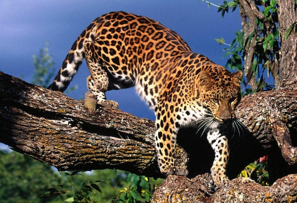 Amur Leopard Population Triples--to 103