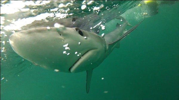"""Crisis"" for Mediterranean Sharks"