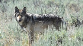 How to Protect Both Wolves and Livestock