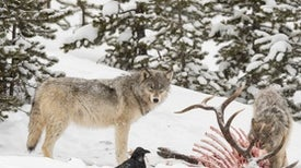 What Wolves in Yellowstone Can Teach Us about Probiotics