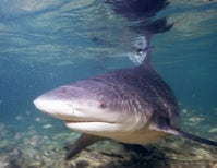 Found but Lost: Newly Discovered Shark May Be Extinct