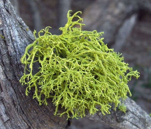 Did the Dinosaur-Killing Asteroid Inadvertently Help Lichens?