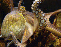 Stunning Video Explains How Octopuses Out-Change Chameleons