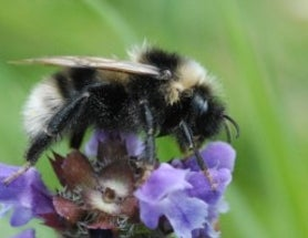 A Second Day with Social Insects, and Some News on the Bumble Bee Introduced to the UK