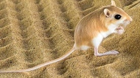 Kangaroo Rats Channel Jackie Chan to Evade Rattlesnakes [Video]