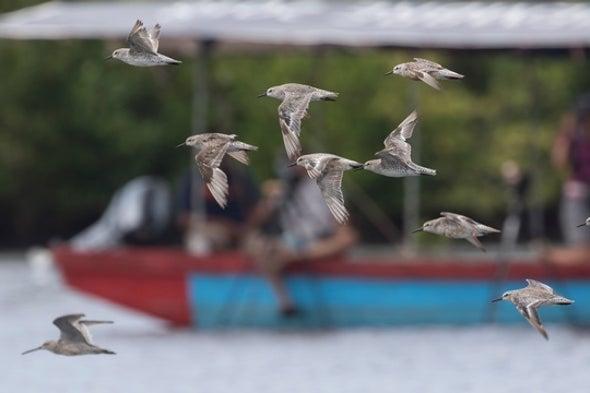 New Hope for Migratory Shorebirds