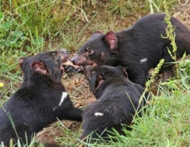 A Wild Idea: Save Tasmanian Devils While Controlling Killer Cats