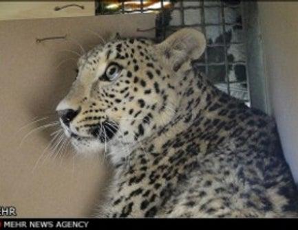 Clouded Leopard Jpg