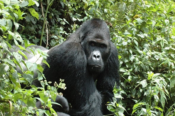Apes, Pandas, Whales and Bears (an Extinction Roundup)