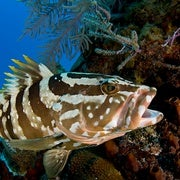 Groupers on the Comeback in the Caymans