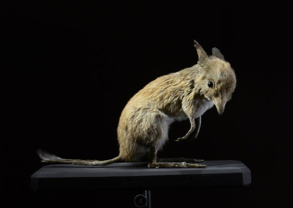 Paleo Profile: The Pig-Footed Bandicoot