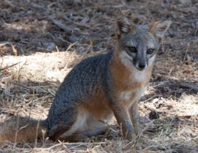 After Near-Extinction, Recovery Declared for Two Island Foxes