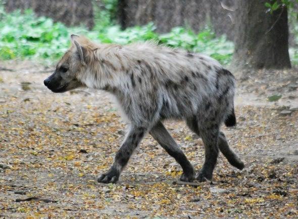 Hyenas and Hammerstones