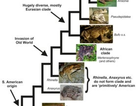 African tree toads, smalltongue toads, four-digit toads, red-backed toads: yes, a whole load of obscure African toads