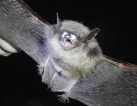 Bat-Killing Fungus Now Found in 25 U.S. States