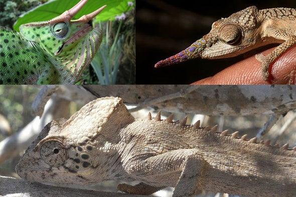 By the Horns of <i>Trioceros,</i> the Casque of <i>Calumma,</i> the Brood of <i>Bradypodion</i>--Chameleons, Part 2