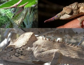 By the Horns of <i>Trioceros,</i> the Casque of <i>Calumma,</i> the Brood of <i>Bradypodion</i>--Chameleons, Part 2