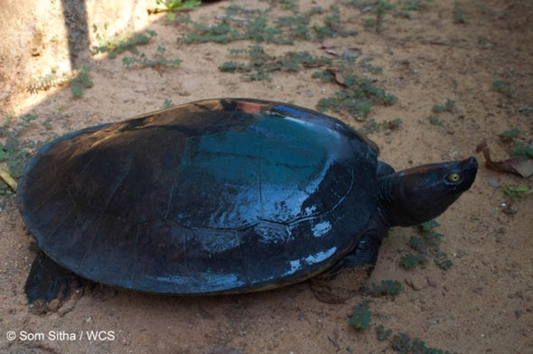 Royal Cambodian Turtle Population Plummets 95 Percent; Just 10 Left in the Wild