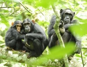 "Chimp-Violence Researchers Respond to Criticism on ""Cross-Check"""