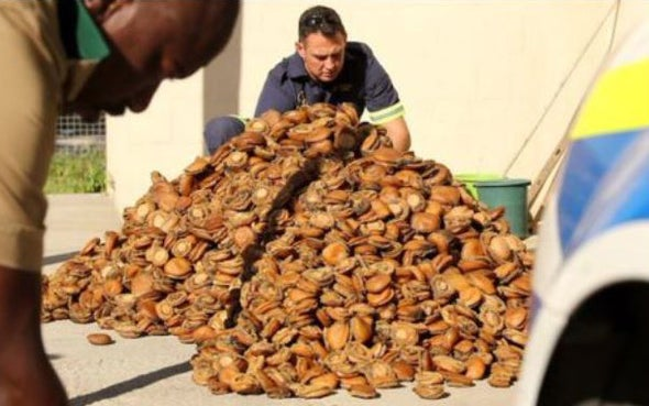 Poachers Steal 7 Million South African Abalones a Year