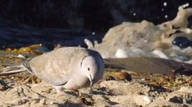 The Asian Dove That Ate Europe Alive