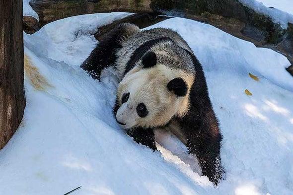 Giant Pandas Love Snow