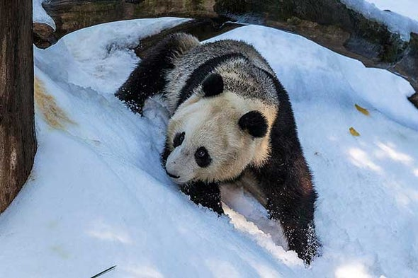 Giant Pandas Love Snow