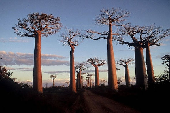 Climate Change Is Killing These Ancient Trees , but That's Just Part of the Story