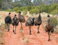 The Great Emu War: In which some large, flightless birds unwittingly foiled the Australian Army