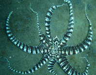 Amazing Mimic Octopus Caught in Thailand [Video]