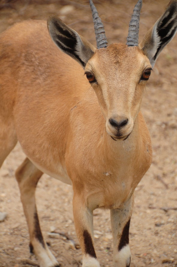 Israel and Palestine Share a Rapidly Disappearing Gazelle