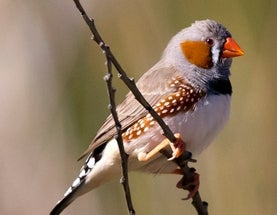 Female Zebra Finches Recognize Their Mates' Faces