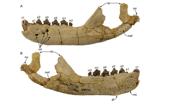 Paleo Profile: The Orange Sea Lion