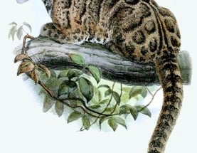 Fresh Start for an Extinct Cat?