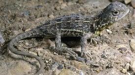 Dragon Quest: Australia Kicks Off Search for Possibly Extinct Lizard