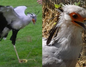Secretary Birds: Weird, but Actually Not That Weird