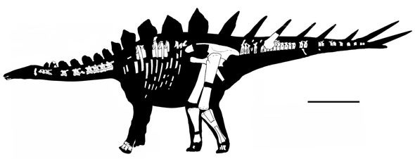 Old Stegosaur Alters History of Armored Dinosaurs