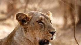 Great News for Lions, Terrible News for Rhinos