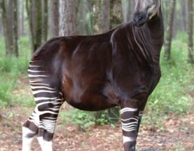 'Forest Giraffe' Now Endangered: Okapi Populations Drop 50 Percent in 18 Years
