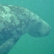Think Manatees are Recovered? Look Farther South