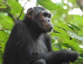 Mapping Mistake Threatens 1,400 Chimpanzees and Newly Discovered Endangered Plant