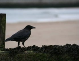 Self-Controlled Crows Ace the Marshmallow Test