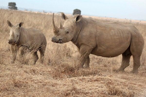 scientificamerican.com - John R. Platt - Shock as China Legalizes Medicinal Trade in Rhino Horns and Tiger Parts