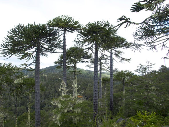 The Monkey Puzzle Tree Faces More Threats Than a Barrel of Monkeys