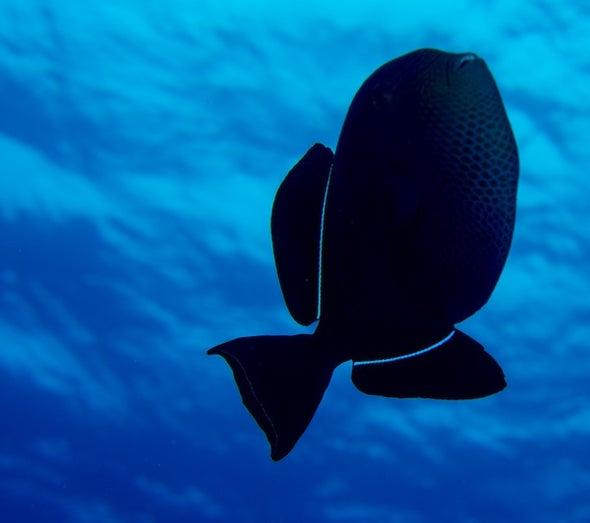"The ""Black Piranha"" of Ascension Island"