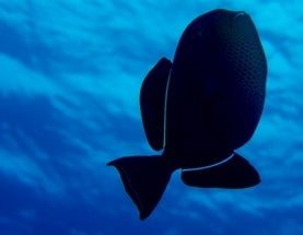 "The ""Black Piranha"" of Ascension Island"