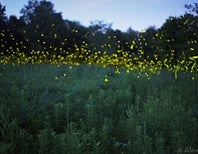 How To Manipulate a Firefly Photograph The Old-Fashioned Way, Through Focus