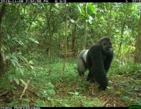 Camera Trap Monday: Cross River Gorilla