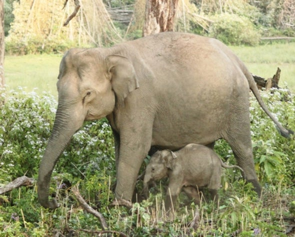The Hidden Crisis Killing India's Young Elephants